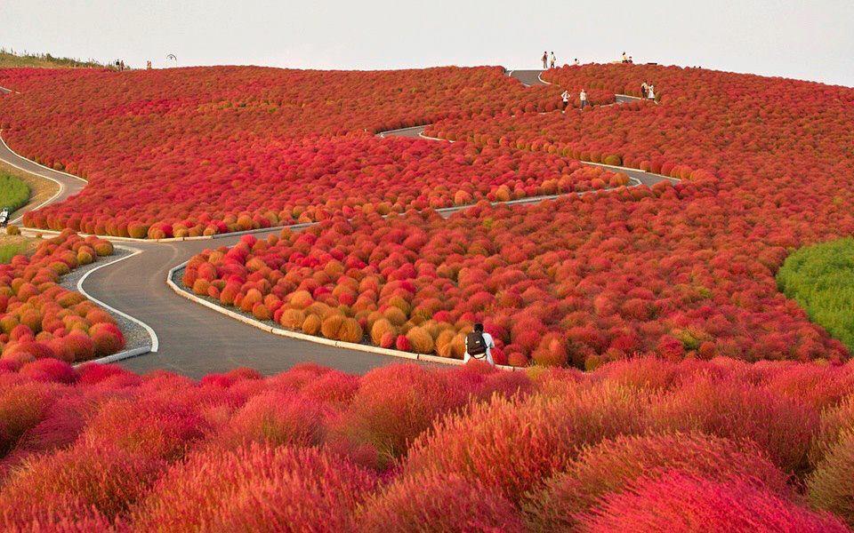 Hitachi Seaside Park in Hitachinaka Ibaraki, Japan