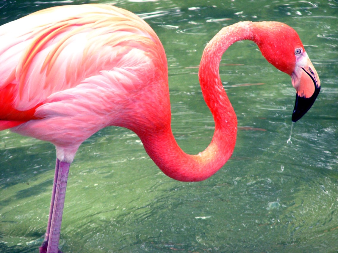 Flamingos get their colour from the food that they eat
