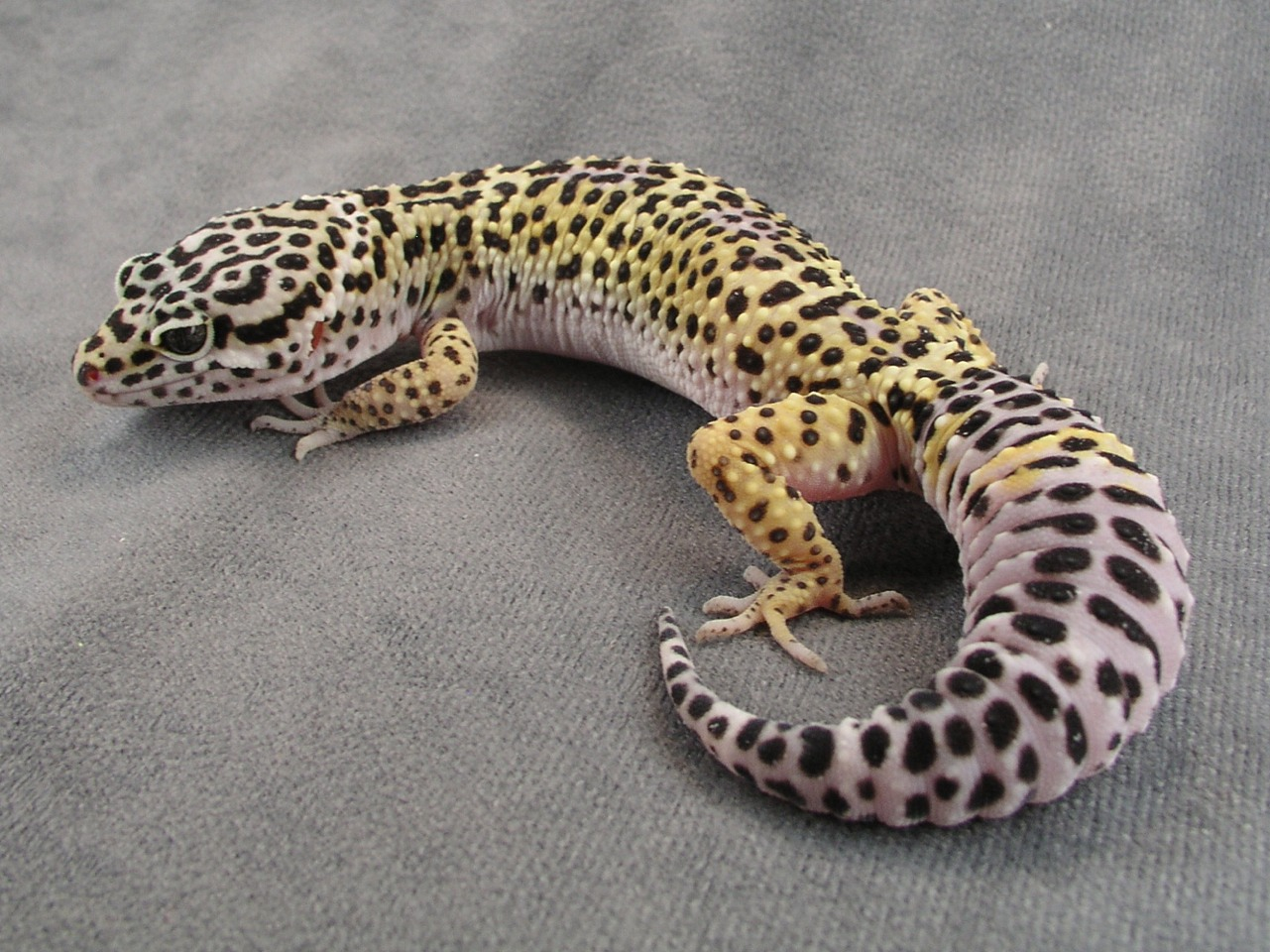 Leopard Gecko: They range in many colors. They are the best reptile for beginners. I have owned one and he was so sweet! They mostly range from $25-$50.