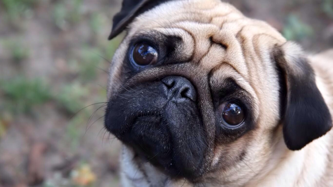 2. Pug love this breed so much heard alot of good stuff about them too 🐶👍