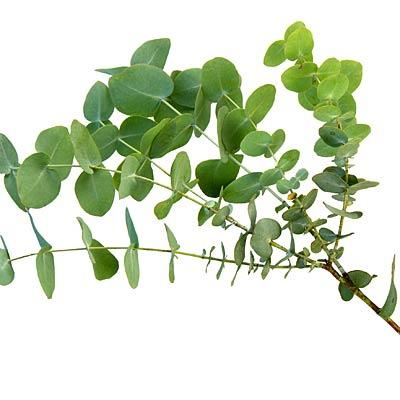 Eucalyptus to stop sniffles This scent reduced stuffy noses and head pressure in people with sinusitis, per a German study. Put a few drops in a sink with warm water, drape a towel over your head and breathe it in.