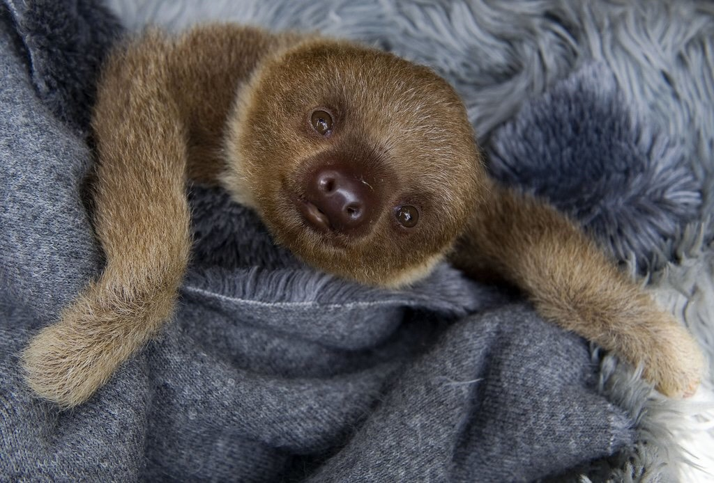 The smile of a baby sloth.