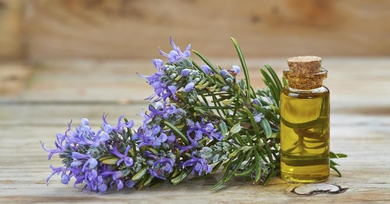 Rosemary Essential Oilis another great oil for natural toning due to its astringent properties. It helps the skin look and feel firm and supple. It also prevents wrinkles, helps remove toxins from your body, and gives your skinalovely glow.