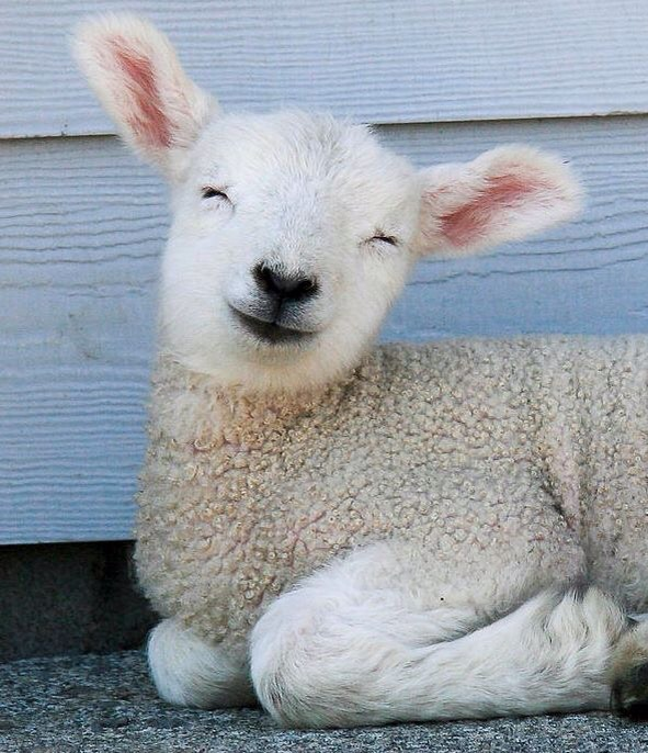 If you are having a bad day, I hope this baby lamb will cheer you up!!!