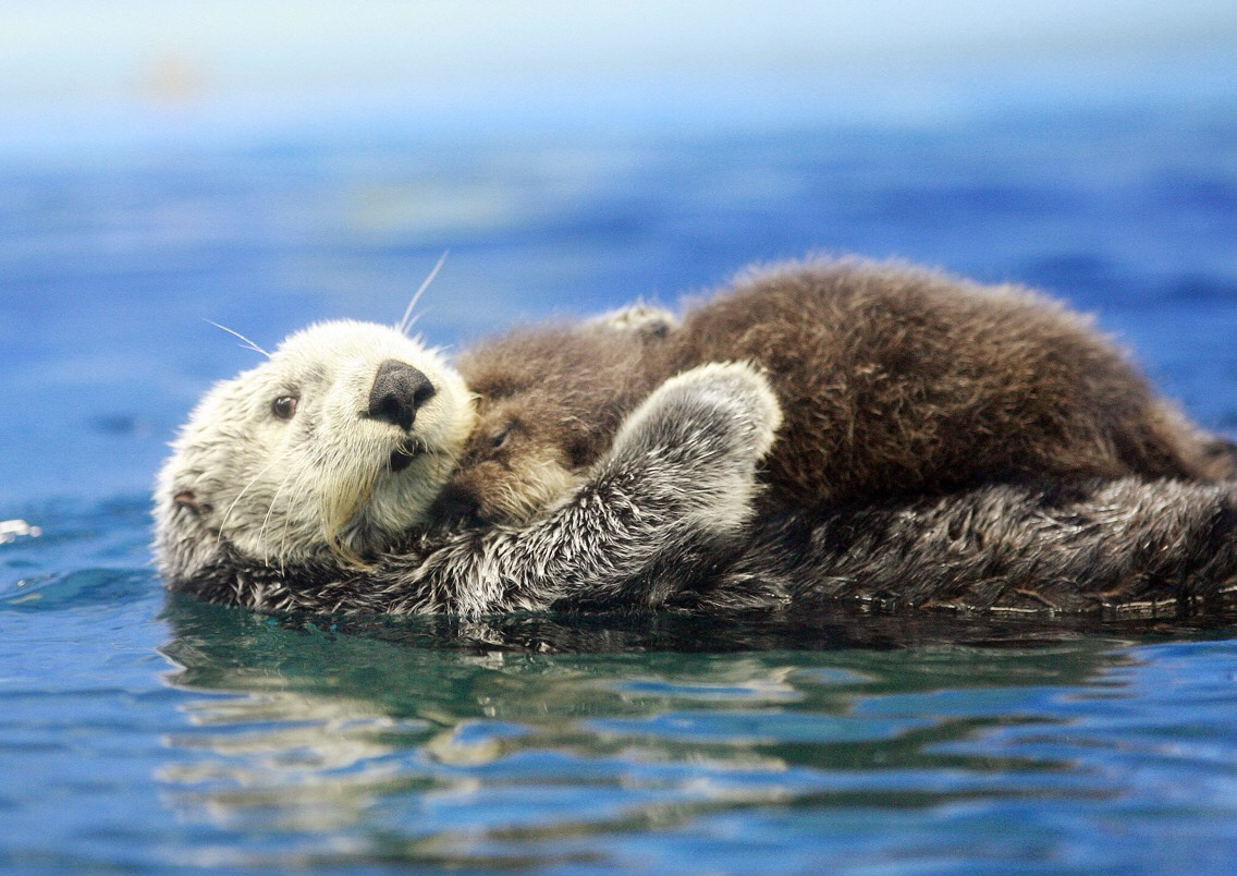 Baby and momma otter.