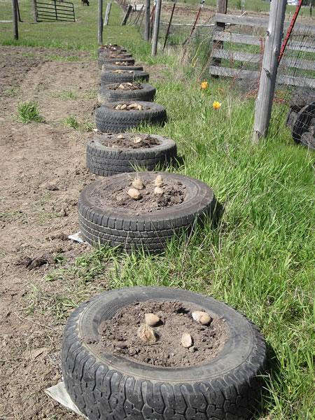 Start out with one tire and some soil, leaves and peat moss. Place about 4 potato seeds in and then cover with another tire and leaves, (lots of leaves) and wait for the green to start growing.