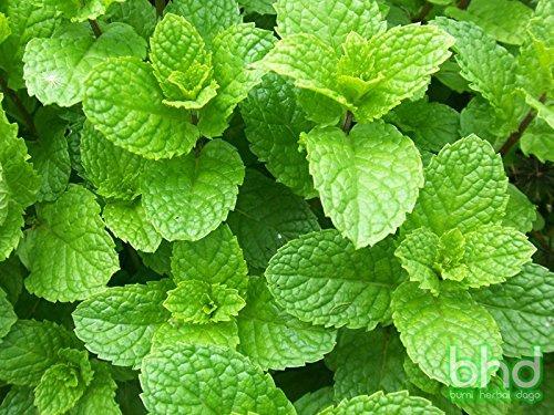 5) Mint (Mentha spp.)