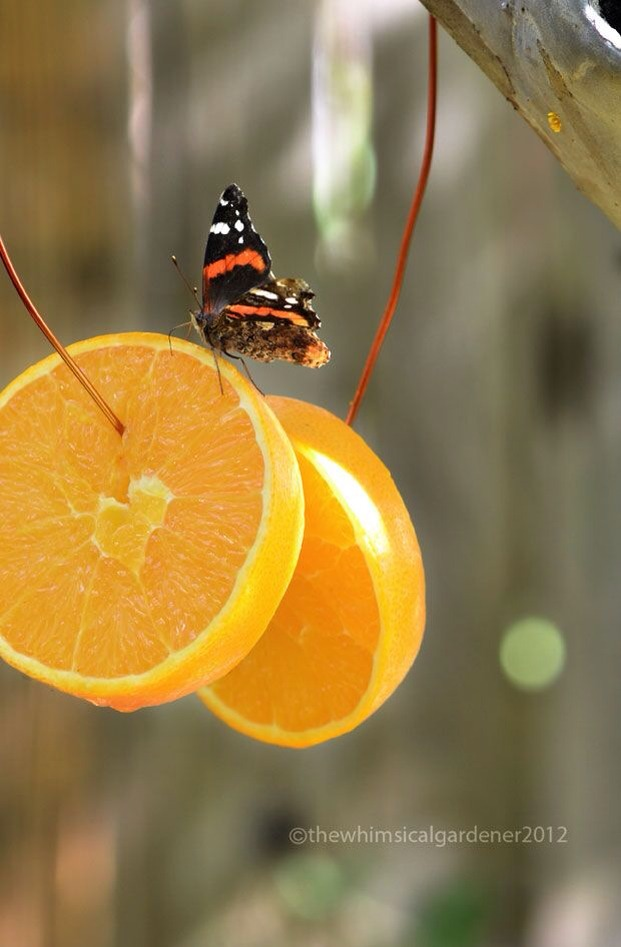 Hang a few slices of oranges in your garden or yard, and watch the beautiful butterflies come for a treat ;)