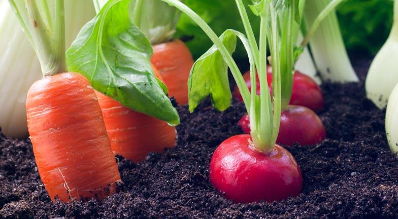 Root veggies are hearty and fairly easy to grow. You'll need a pot that as at least twice the depth of the mature root veggie, so a carrot that grows to 4 inches would need 8 inches of depth.