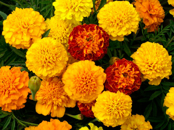 Marigolds have the same brightening effect.