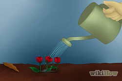 9)Keep watering the roses twice a week before the sun is up or after the sun has gone down.