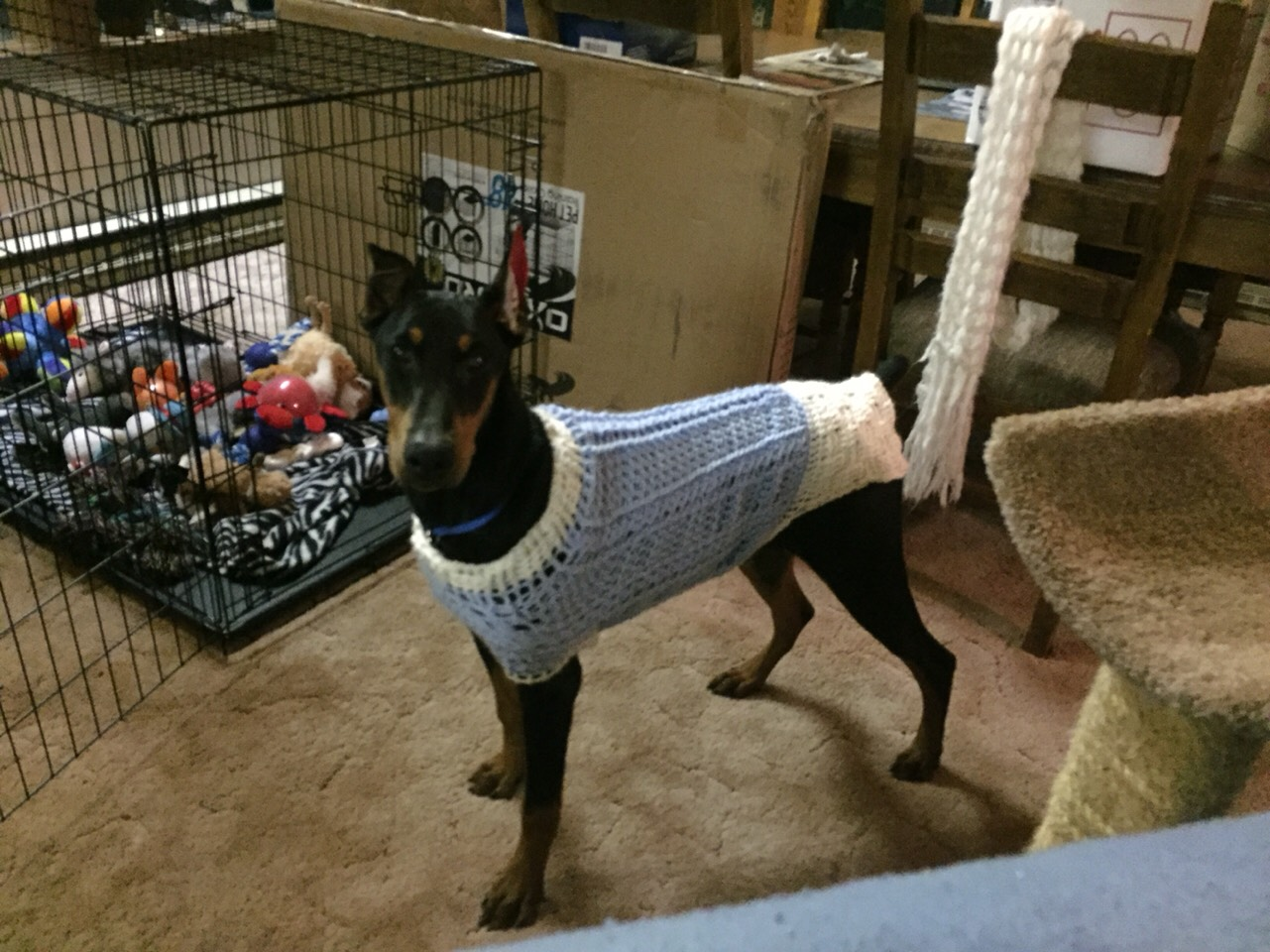 Musely sweater in the next picture on my 45lb doberman bankloansurffo Image collections