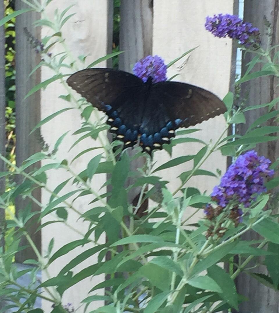 Beautiful butterflies love a butterfly plant