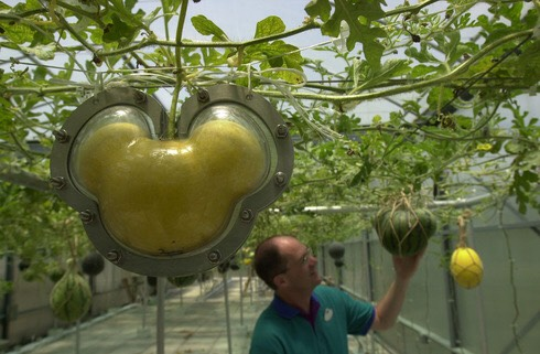 There's a behind the scenes tour that shows genetically changed fruits that are Mickey shaped
