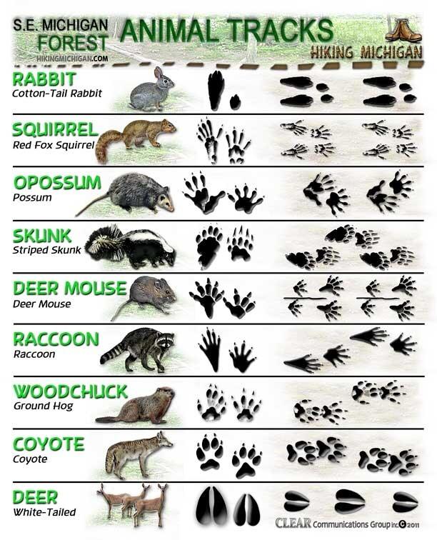 --> How to Identify Animal Tracks