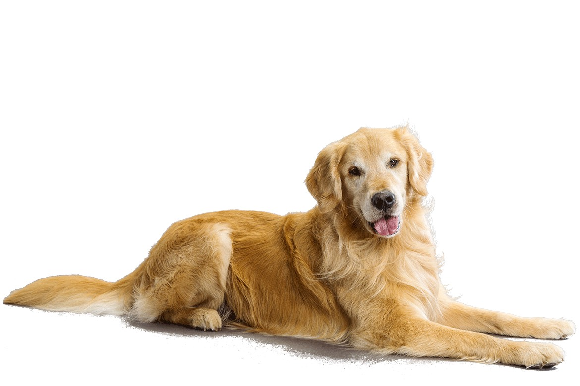 Golden retriever- ok this is my other favourite dog this is a high shedding dog but is excitable playfull lovable loyal and caring breed that also need companions